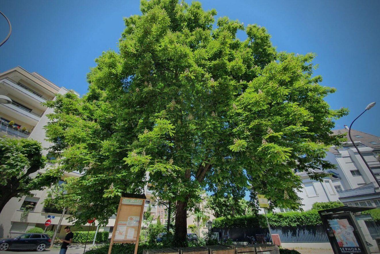 In der Stadtplanung werden Bäume unterschätzt, sagt Folge 59 des Y Politik-Podacasts. Diese Bild zeigt einen Baum.